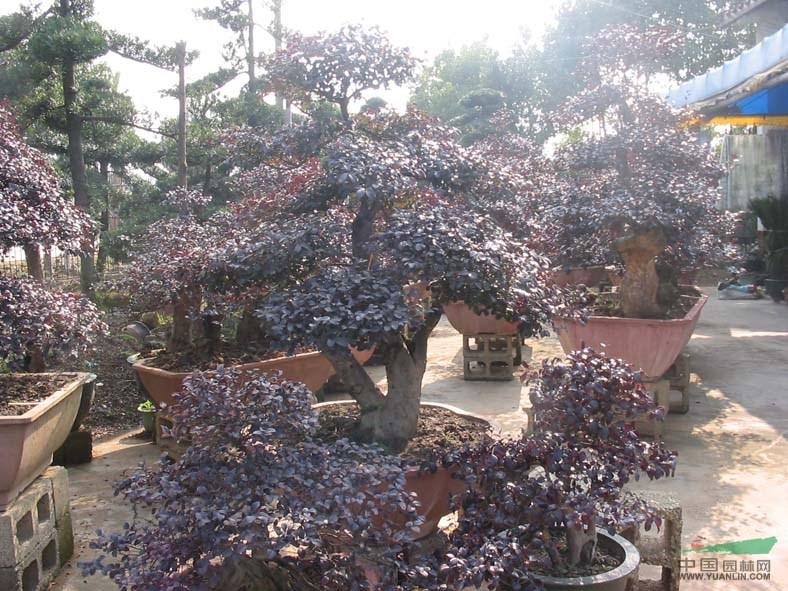 红花继木盆景行情报价红花继木盆景图片展示