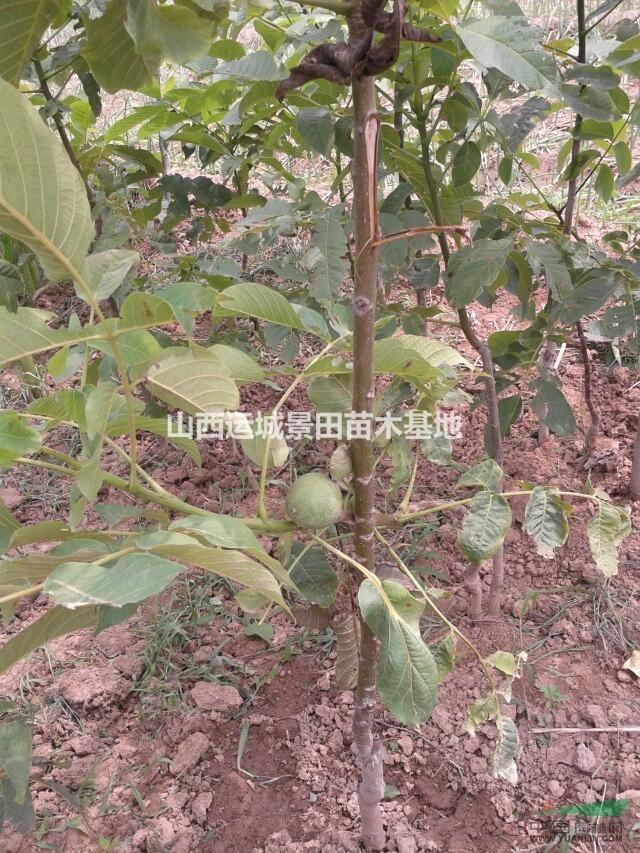 首页 绿化苗木频道 苗木供应 绿化苗木 乔木 供应3-8公分核桃树·5-15
