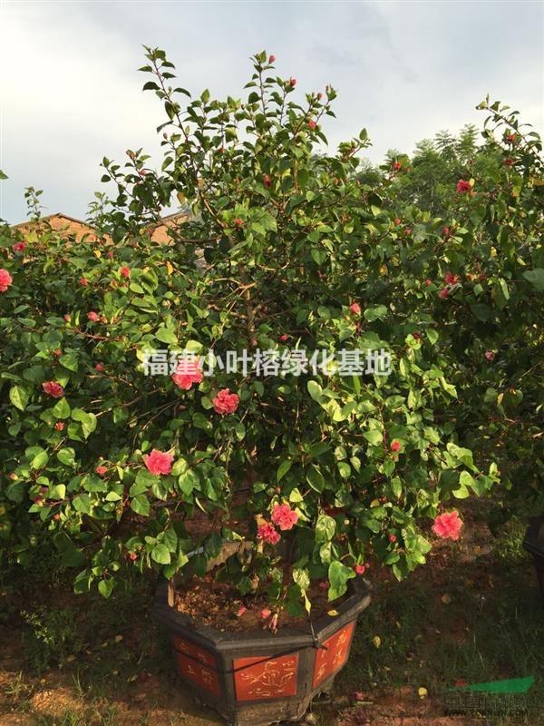 重瓣大红花 扶桑树
