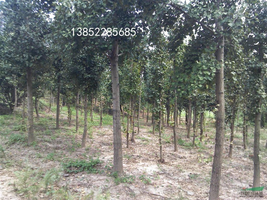 榉树种子种植技术_12公分榉树价格_优质12公分榉树价格种子种类_南京施