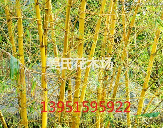 哪里有金香玉竹子黄金竹子价格黄槽竹子金镶玉竹子保鲜保快递全国