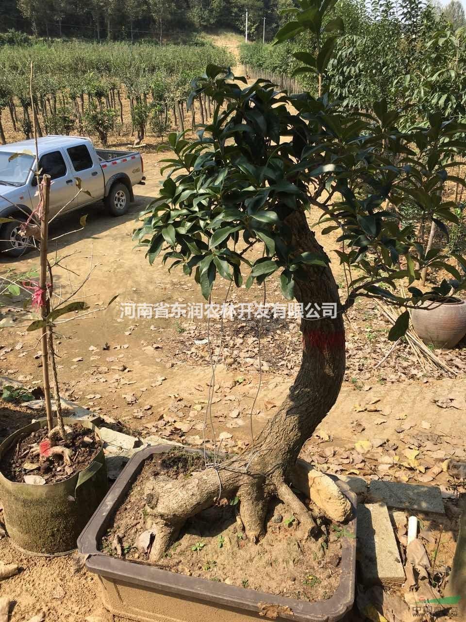 河南桂花盆景,优质桂花老桩