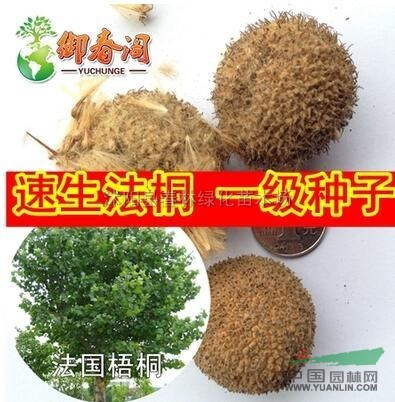 江苏速生法桐种子 新采摘法国梧桐树种子 三球悬铃木种子10元斤包邮新
