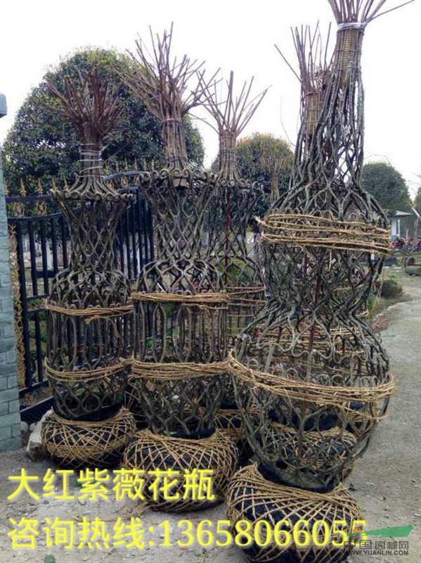 紫薇花瓶 紫薇造型 - 苗木供应信息 - 郫县树叶园艺场