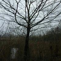 盆景的制作图解   朴树卧干式盆景的制作图解   罗汉松曲干式