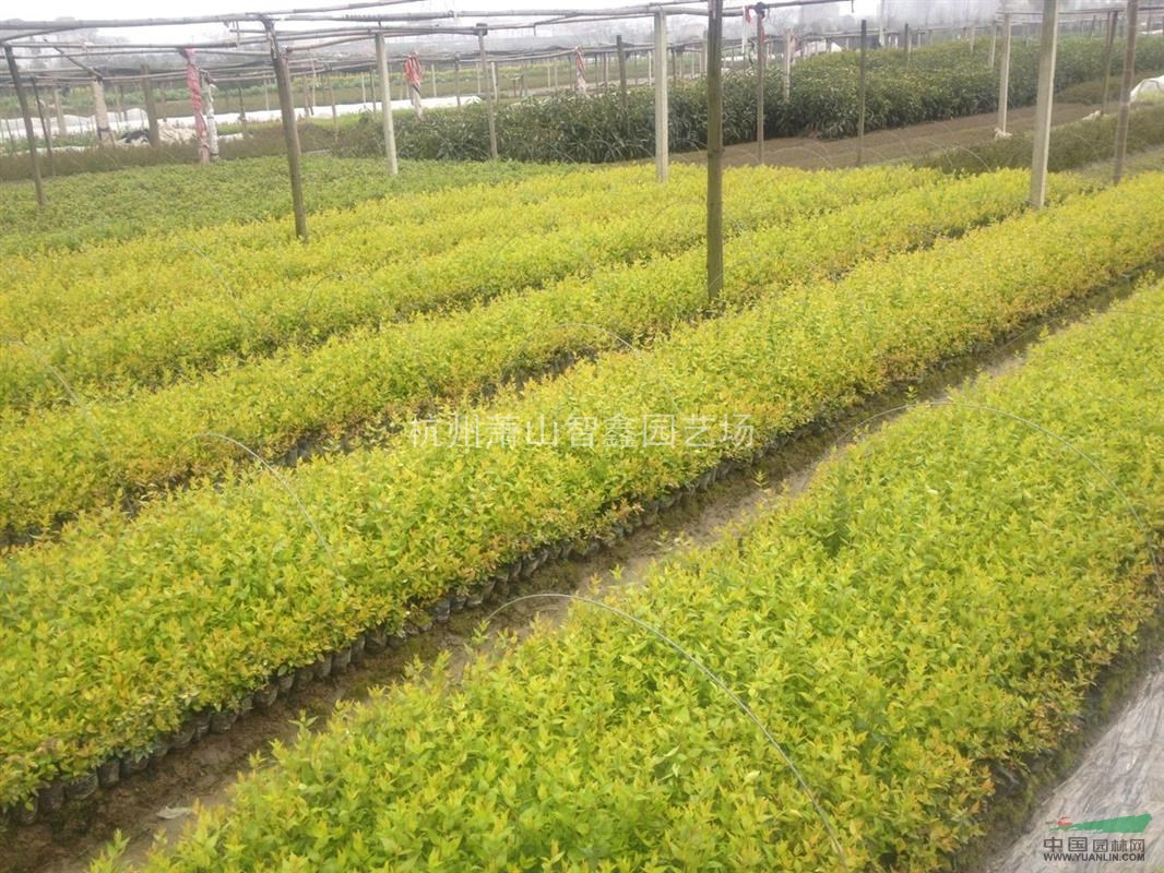 六道木盆栽苗--萧山小苗