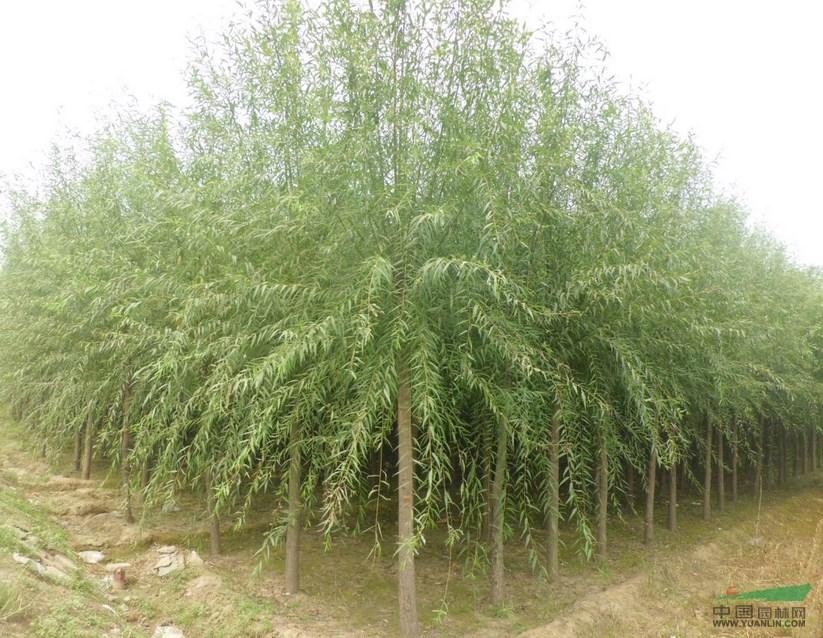 多种灌木柳树,耐修剪,可培育成各种形状灌丛或作绿篱