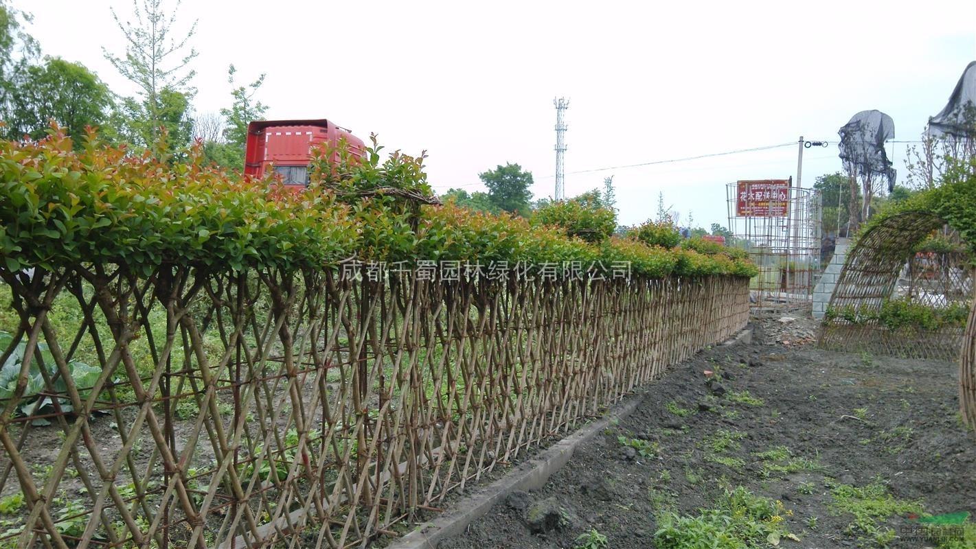 紫薇围墙/绿篱 百日红编织 紫薇造型技术