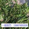 菹草 菹草产地直销 菹草价格