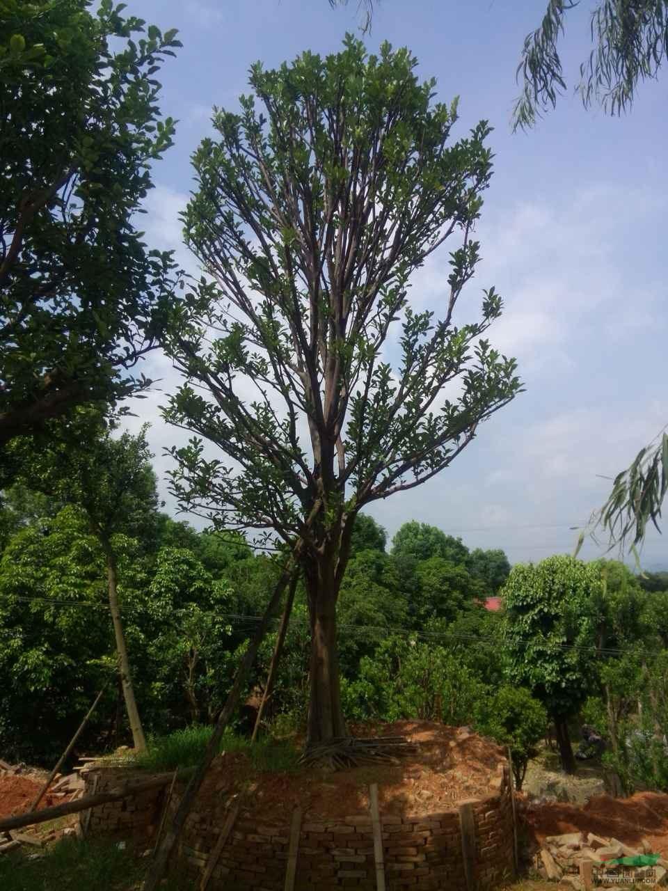 柚子树图片