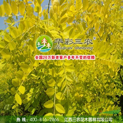 金叶国槐 黄叶乔木 彩叶树 城市绿化风景林绿化及公路