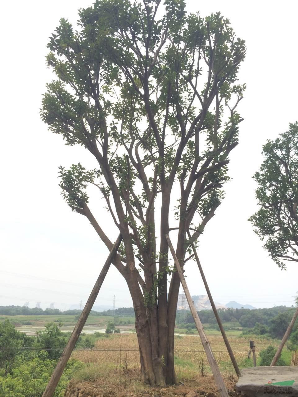 柚子树-香泡树苗
