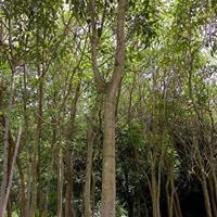 福建腊肠树图片