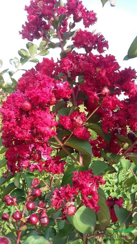 红绸子大红花怎么扎步骤步骤视频