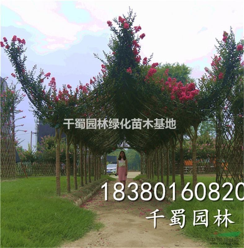 贵州紫薇编织造型基地