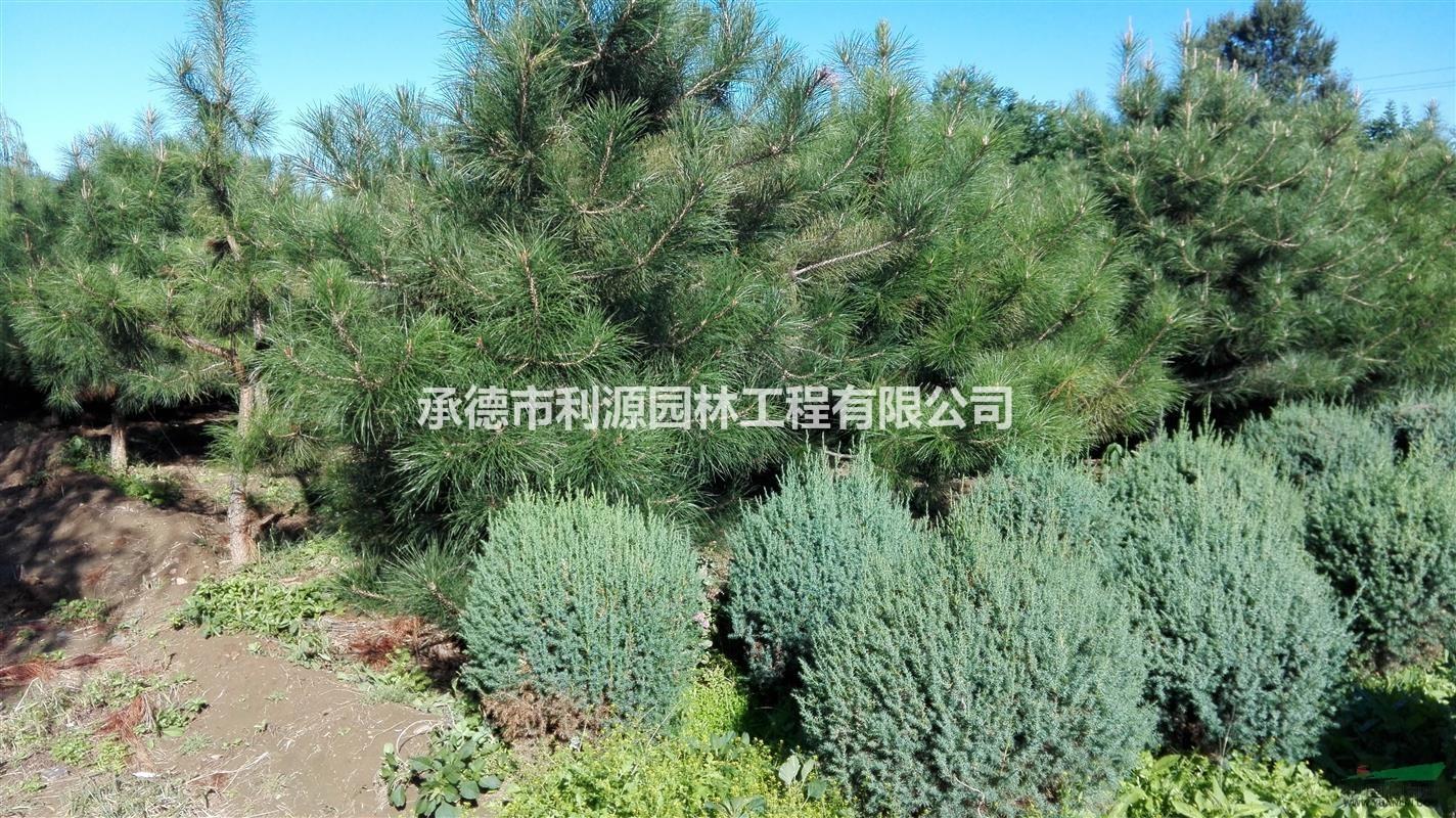 首页 绿化苗木频道 苗木供应 绿化苗木 乔木 河北地区油松 大量出售