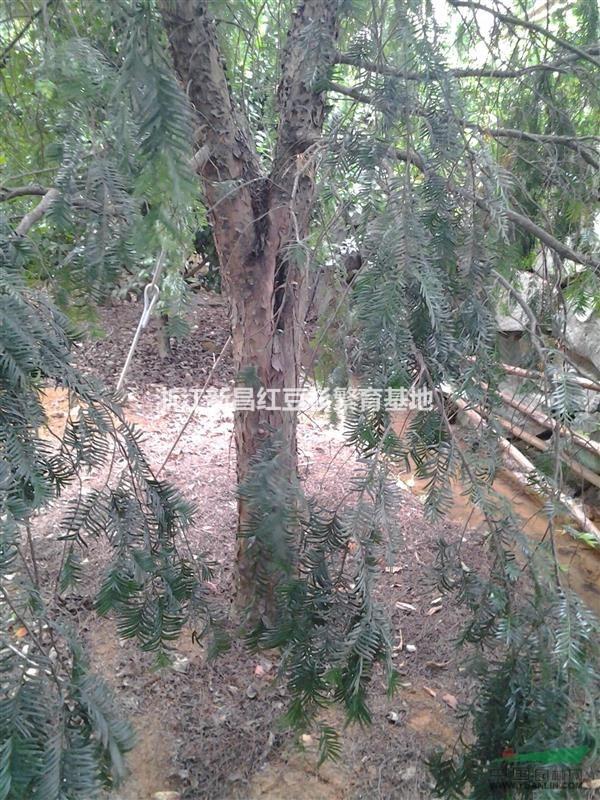 红豆杉||形态特征:红豆杉是常绿乔木,小枝秋天变成黄绿色或淡红褐色,叶条形,雌雄异株,种子扁圆形。种子用来榨油,也可入药。属浅根植物,其主根不明显、侧根发达,高30m,干径达1m。叶螺旋状互生,基部扭转为二列,条形略微弯曲,长1~2.5cm,宽2~2.5mm,叶缘微反曲,叶端渐尖,叶背有2条宽黄绿色或灰绿色气孔带,中脉上密生有细小凸点,叶缘绿带极窄,雌雄异株,雄球花单生于叶腋,雌球花的胚珠单生于花轴上部侧生短轴的顶端,基部有圆盘状假种皮。种子扁卵圆形,有2棱,种卵圆形,假种皮杯状,红色。 生长习性:幼苗喜