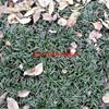 萬日本矮麥冬價格_日本矮麥冬產地_日本矮麥冬綠化苗木苗圃基地