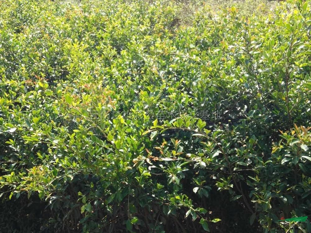 小叶榕|榕树|形态特征:乔木,高15-20米,胸径25-40厘米;树皮深灰色,有皮孔;小枝粗壮,无毛。叶狭椭圆形,长5-10厘米,宽1.5-4厘米,全缘,先端短尖至渐尖,基部楔形,两面光 滑无毛,干后灰绿色,基生侧脉短,侧脉4-8对,小脉在表面明显;叶柄短,长约1- 2厘米;托叶披针形,无毛,长约1厘米。榕果成对腋生或3-4个簇生于无叶小枝叶腋, 球形,直径4-5毫米;雄花、瘿花、雌花同生于一榕果内壁;雄花极少数,生于榕果内 壁近口部,花被片2,披针形,子房斜卵形,花柱侧生,柱头圆形;瘿花相似于雌花,花