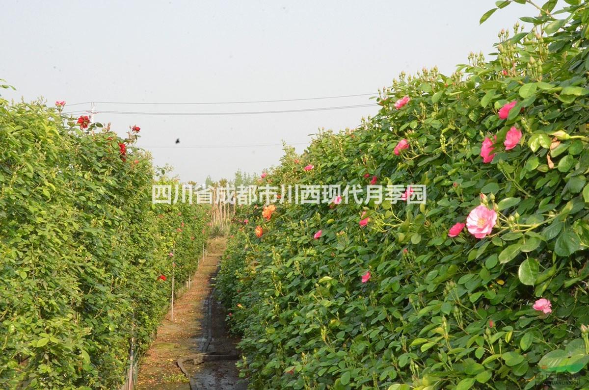 藤本月季安吉拉 - 苗木供应信息 - 四川省成都市川西
