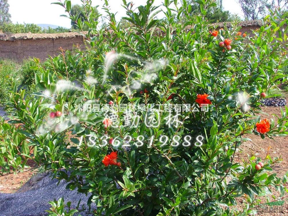 月季石榴又名花石榴,是石榴科属中一个非常稀有的珍贵品种。株高只有50~70厘米,却枝繁叶茂,花大果多。春天播种,当年夏天即开花,秋天就结果,并且结果时树上仍花开不断。花火红色,艳丽怒放,花朵多,花期长,每一朵花从出现红色花蕾到果实成熟,自春经夏到秋几个月,一直挂在树上不落。冬天适当防寒保护,仍能坚持开花,延续到春节前后,那碧叶丛中繁多的红花及火红的石榴同载一树,非常壮观,是花卉淡季难得的珍品,具有极高的观赏价值和广阔的市场前景。生长习性性喜温暖、阳光充足和干燥的环境,耐干旱,也较耐寒,不耐水涝,不耐阴,对