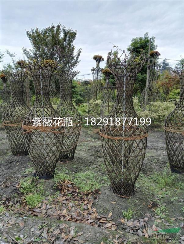 紫薇花瓶,造型紫薇 - 苗木供应信息 - 徐家大院苗木