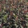 茶花促开花方法 红叶茶花200万现苗供应 正宗红叶贝拉茶花
