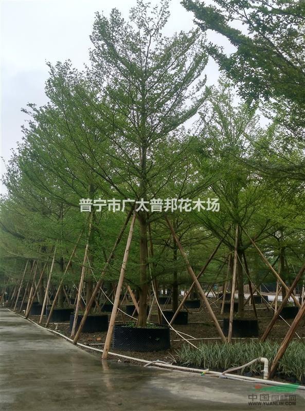 小叶榄仁18一20cm假植苗 - 苗木供应信息 - 普宁市广