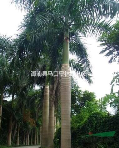 农户直销批发大王椰子,假植王棕,文笔树,大王棕,棕榈树,棕榈