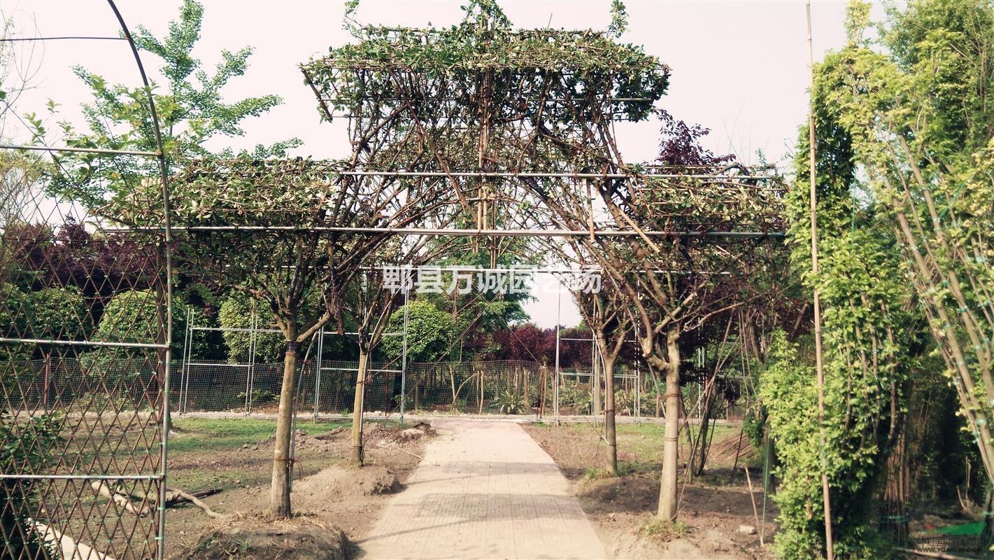 铁脚海棠植物造型牌坊 海棠造型