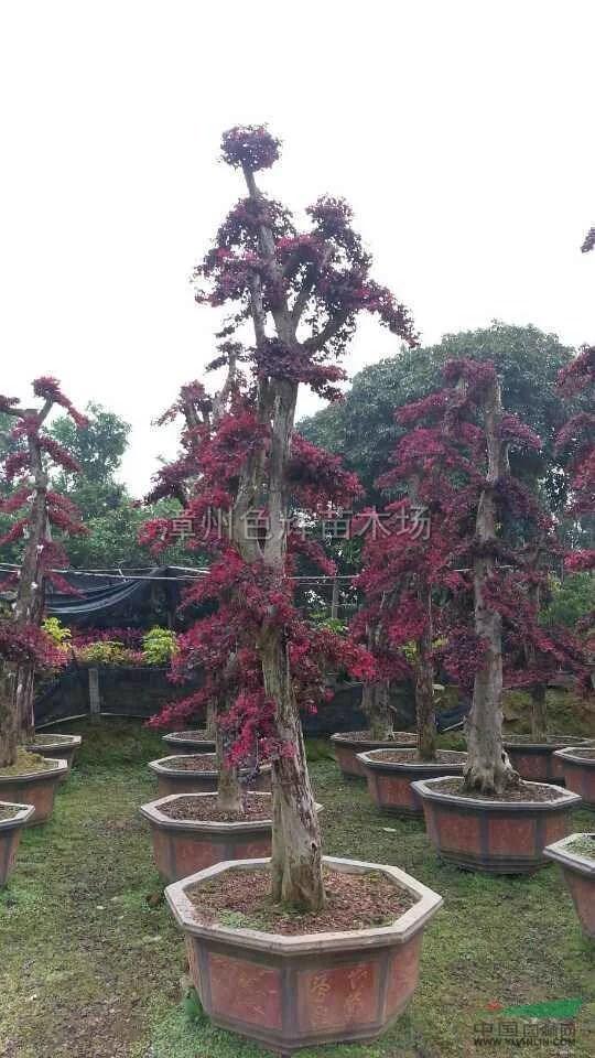 红花继木桩供应/红花继木桩图片