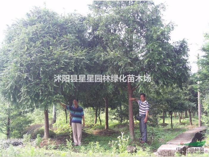 首页 沭阳华景花卉苗木场 产品供应 > 江苏红豆杉大树出售   报  价¥