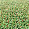 长期供应鸡冠花、太阳花、红花四季海棠等盆花