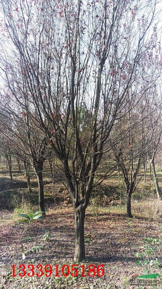 园林景观建设有限公司 产品供应 > 大小规格10-15公分精品红叶李2基地