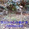 6公分紫叶李 紫叶李种植基地