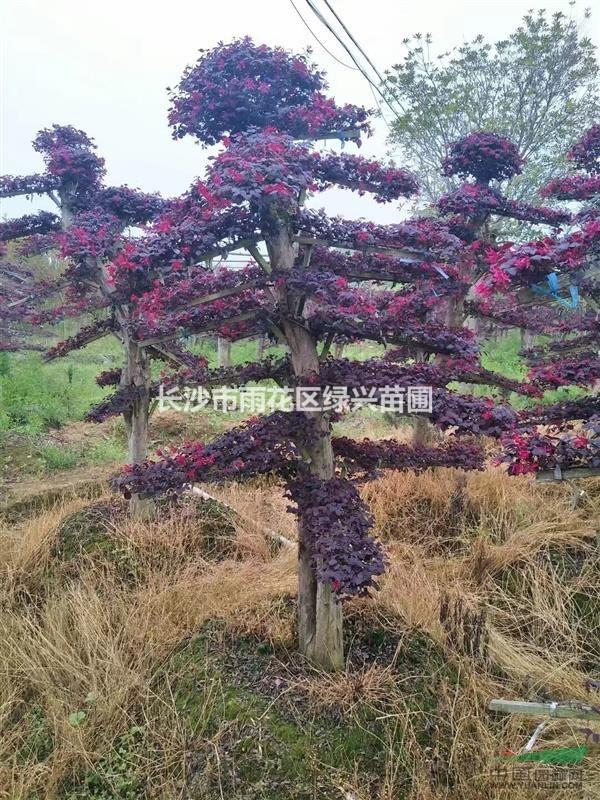 造型红花继木基地 古桩继木 丛生造型继木价格 多杆大叶红继木