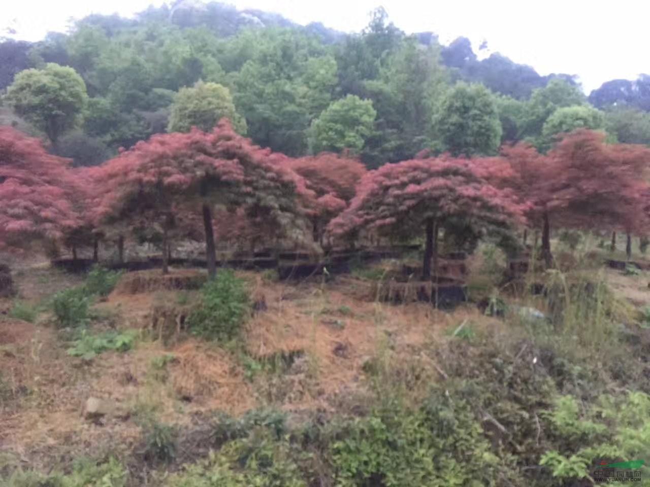 浙江地区造型羽毛枫6-12公分,高杆和原生苗羽毛枫,飘逸自然