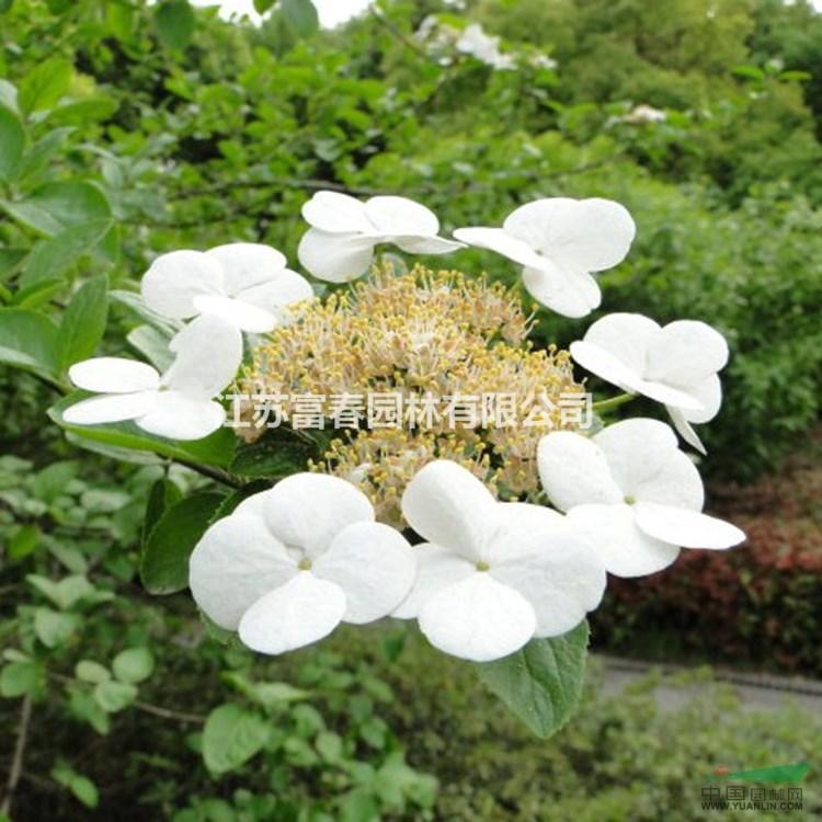 批发销售扬州琼花 庭院风景绿化树 彩色花卉 花大 树形饱满