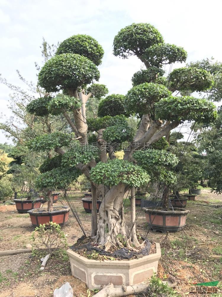 小叶榕植物ps高清素材