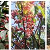 丝棉木、丝棉木景观树、丝棉木行道树、丝棉木基地、山东淄博凯创