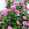 格特鲁德杰基尔月季 月季花 盆栽月季 沭阳月季基地花卉