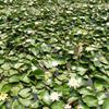 睡莲,蒲苇,荷花,美人蕉,水生植物
