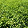 柑桔类果苗;沙糖桔,沃柑,茂谷柑,香橙苗,积壳苗,酸柑苗