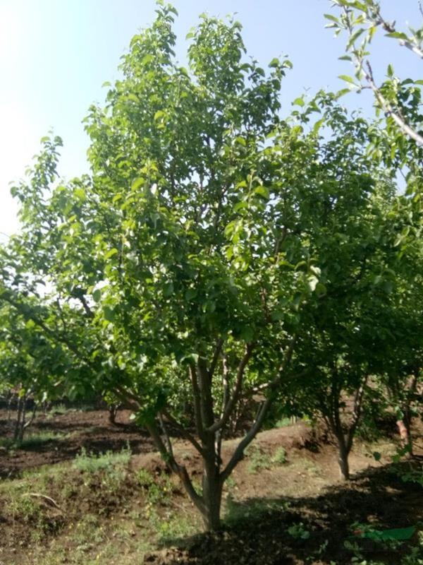 张家口12公分八棱海棠树价格