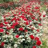 江苏沭阳供应品种月季 丰花月季、红帽月季、黄帽月季