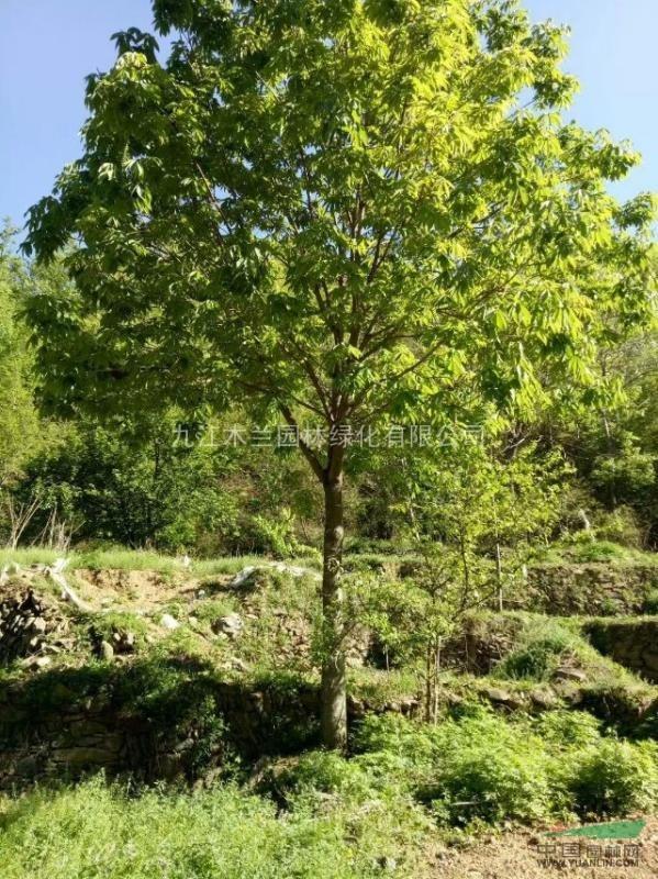 温馨提示: 以上是关于【七叶树】的详细介绍, 产品由九江木兰园林绿化图片