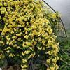 白木香花,嫁接黄木香苗圃,购买木香花苗快递发货全国