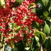 春季不飘絮的优良行道树,大叶丝棉木、红巴伦海棠都不错
