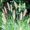 小兔子狼尾草产地直供   紫狼尾草大量供应