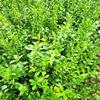 大叶扶芳藤苗 绿化扶芳藤种植基地 绿篱色块苗木